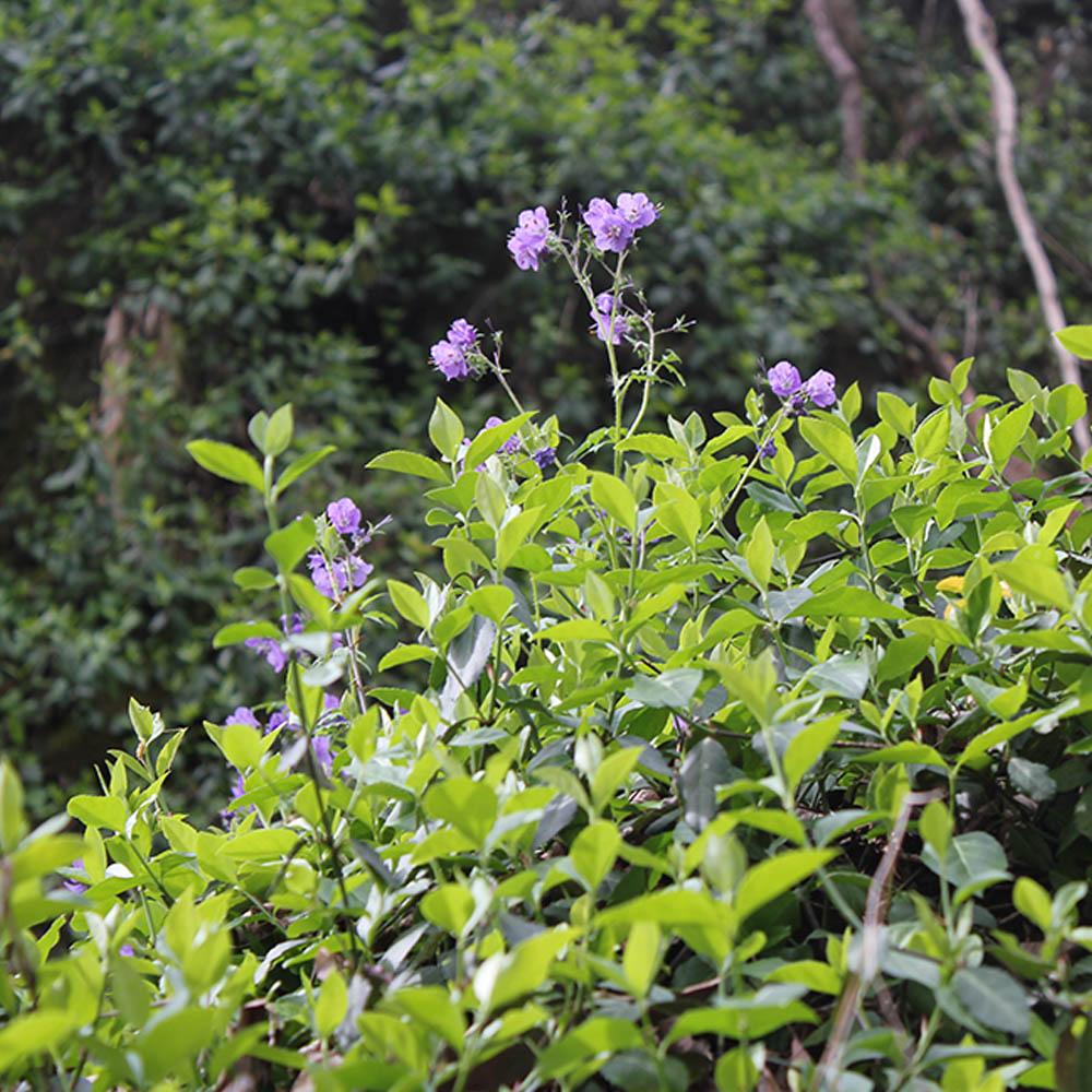 small purple flowers found in oak ridge