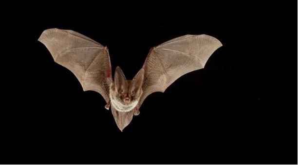 large eared bat